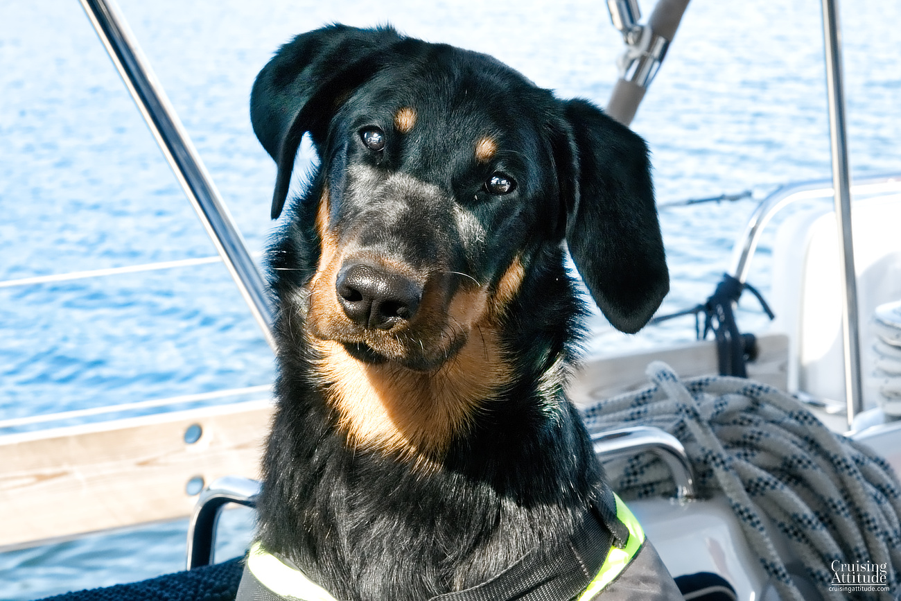 Our dog Senna, a beauceron | Cruising Attitude Sailing Blog - Discovery 55